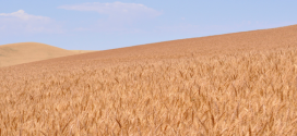 NAWG counters wheat glyphosate use accusations