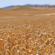 The truth about glyphosate, part 1: How do wheat growers use glyphosate?