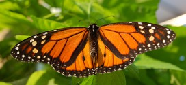 NAWG submits comments on butterfly risk management approach