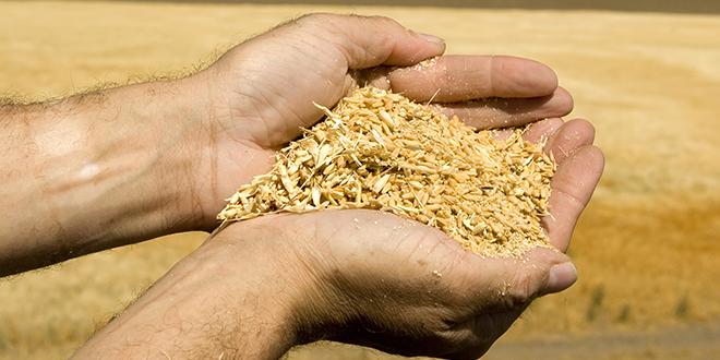 wheat hands