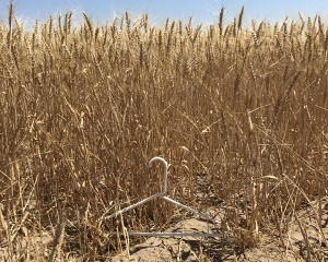Berg's 2017 wheat crop during a non drought year. This picture was taken at the same spot at about the same time of the year as the picture in 2015.
